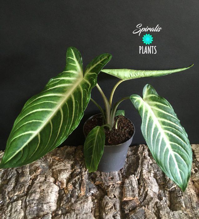 Caladium xanthosoma lindenii large leaved rare tropical aroid house plant