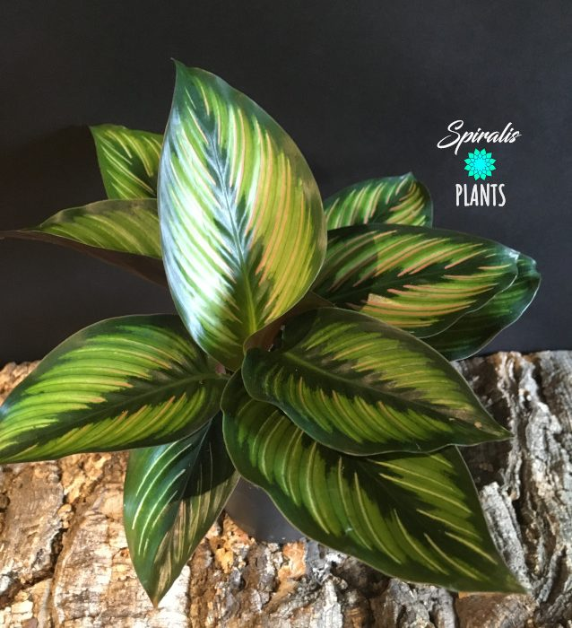 Calathea beautystar prayer plant variegated house plant