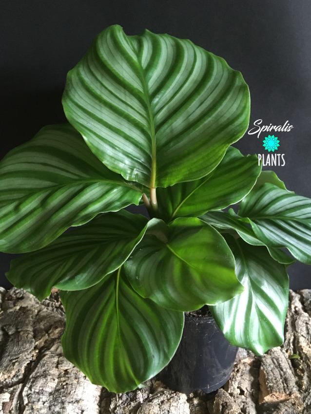 Calathea orbifolia house plant