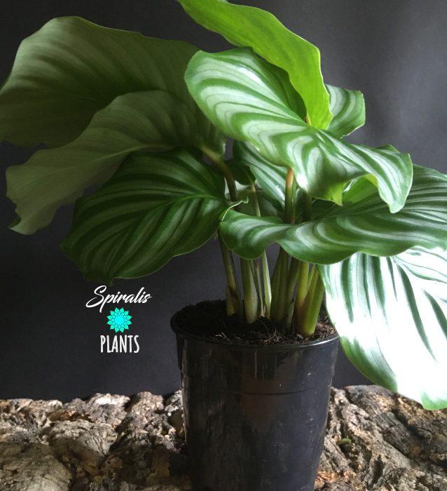 Calathea orbifolia side