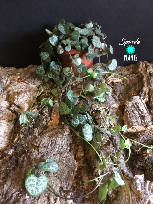 Ceropegia linaris woodii string of hearts trailing house plant