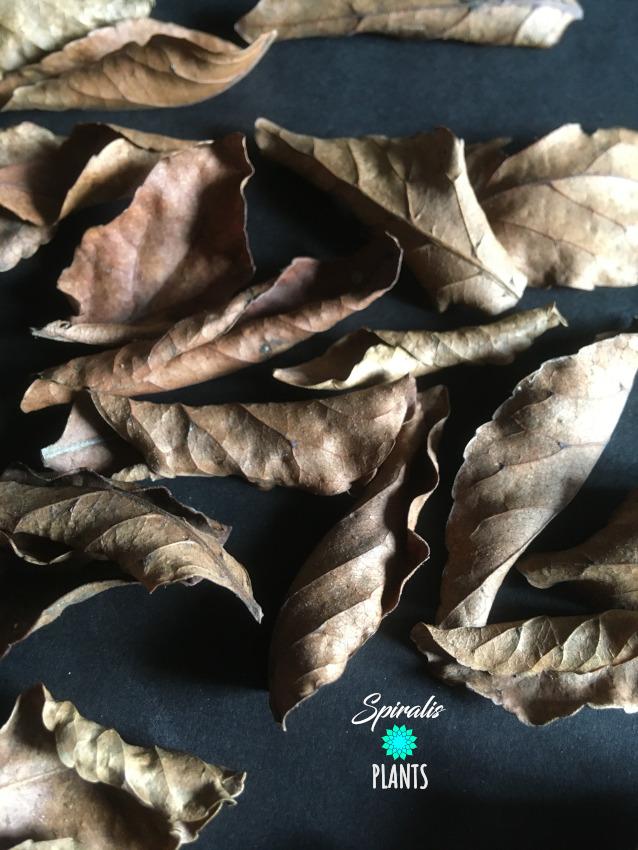 Ceylon Olive Veralu leaves natural terrarium vivarium decor leaf litter
