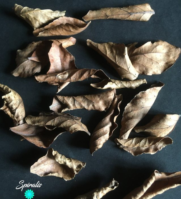 Ceylon Olive Veralu leaves naturalistic terrarium vivarium leaf litter decor