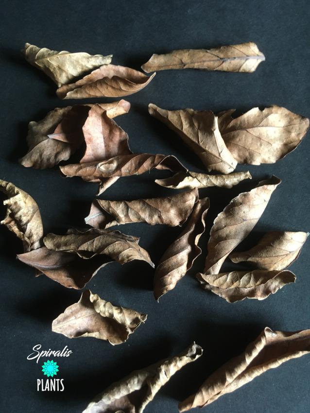 Ceylon Olive Veralu leaves naturalistic terrarium vivarium leaf litter decor