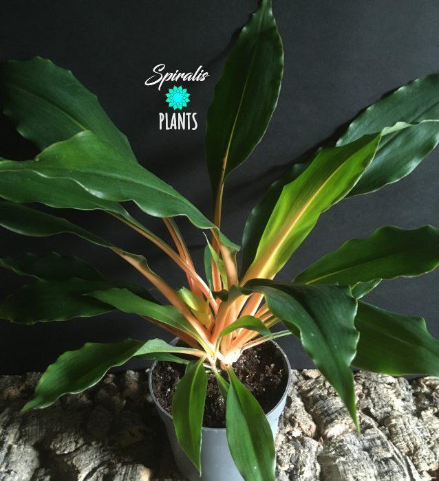 Chlorophytum orchidastrum house plants orange