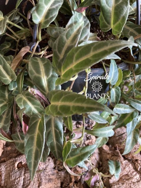 Cissus parthenocissus amazonica trailing hanging house plant rare tropical plant