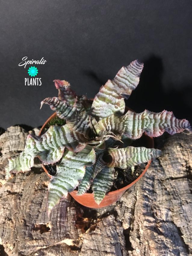 Cryptanthus zonatus terrarium bromeliad plant