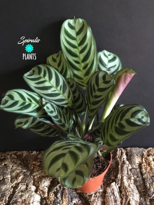 Ctenanthe burle marxii prayer plant