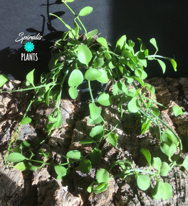 Dischidia Geri trailing house plants green indoor