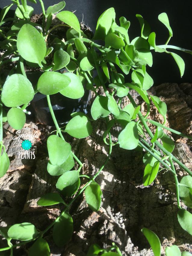 Dischidia Geri trailing indoor house plant