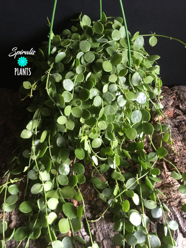 Dischidia nummularia string of nickels hanging pot house plant