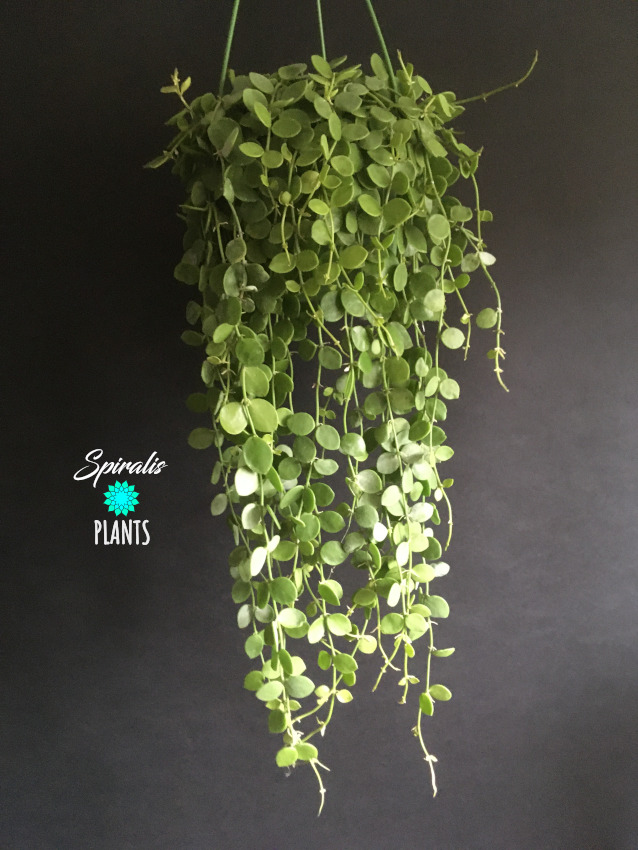 Dischidia nummularia string of nickels trailing hanging house plant