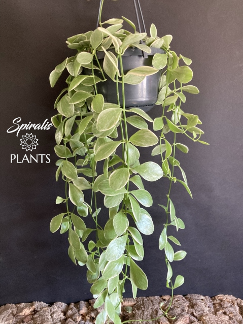 Dischidia oiantha variegata hanging trailing house plant variegated long