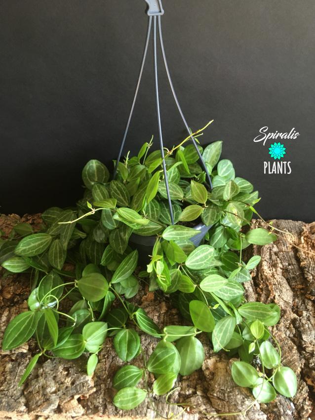 Dischidia ovata hanging trailing house plant