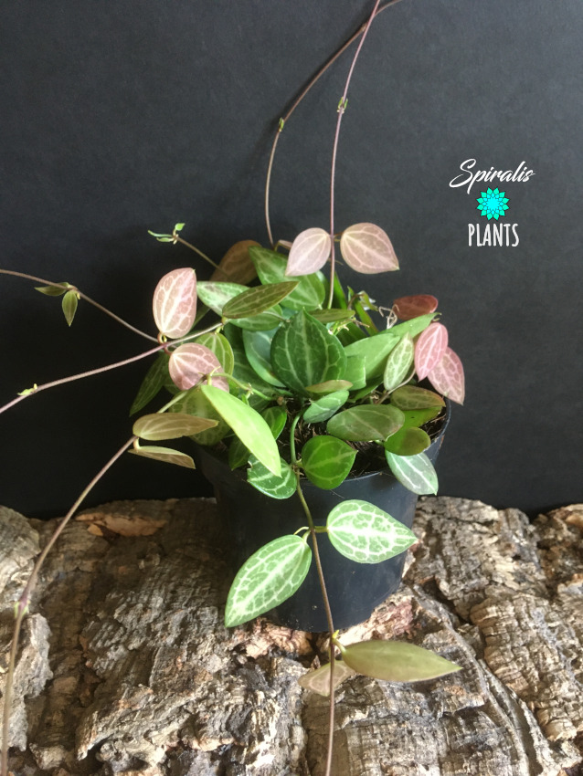 Dischidia ovata string of melons epiphytic trailing indoor plant