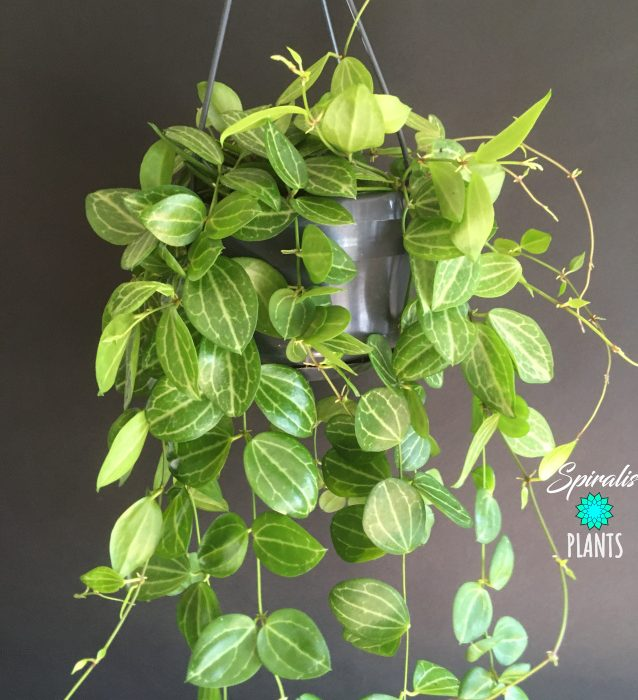 Dischidia ovata string of watermelons trailing hanging house plant