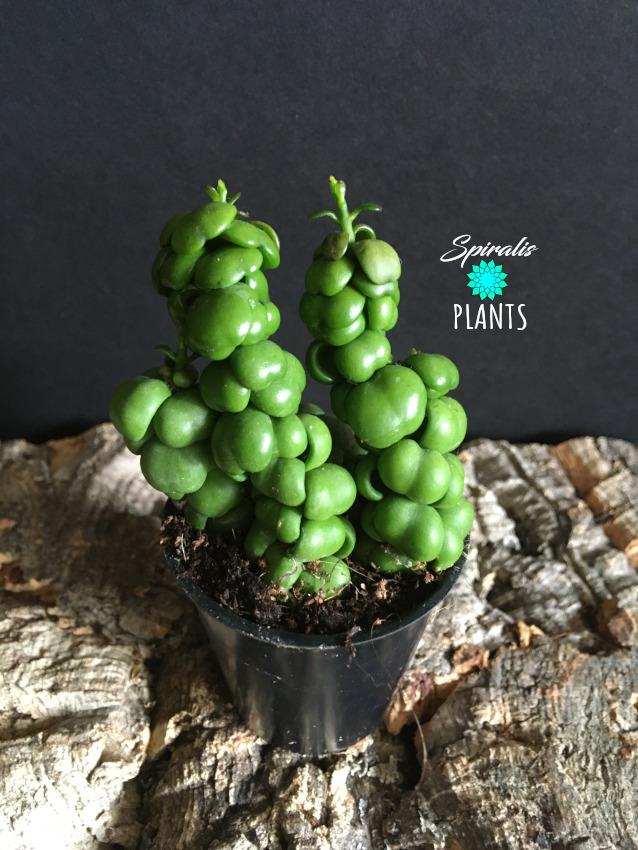 Dischidia pangolin kisses baby house plant