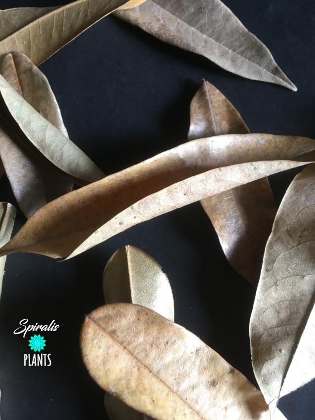 Durian leaves natural terrarium vivarium decor leaf litter