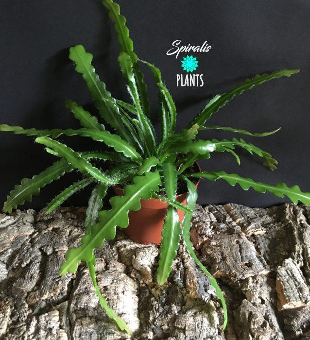 Epiphyllum anguliger fishbone tropical cactus