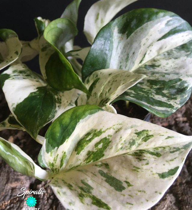 Epipremnum Happy Leaf variegated pothos