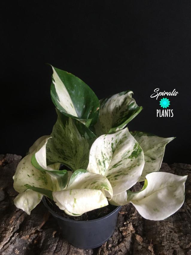 Epipremnum Manjula pothos happy leaf