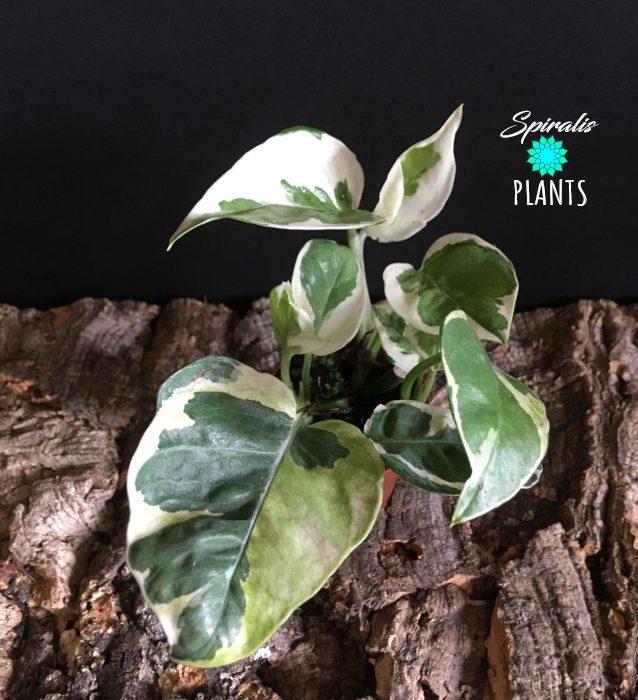 Epipremnum NJoy plants