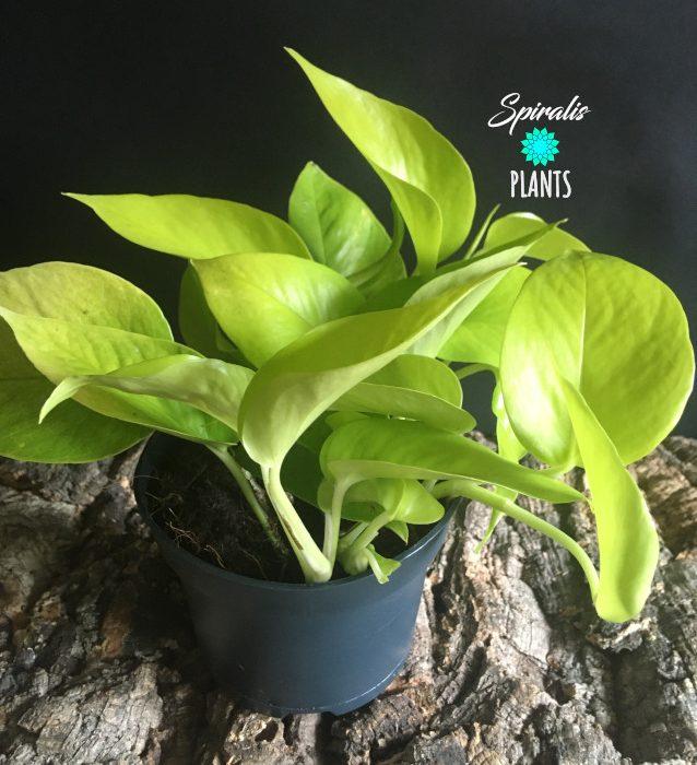 Epipremnum Neon golden pothos house plant trailing