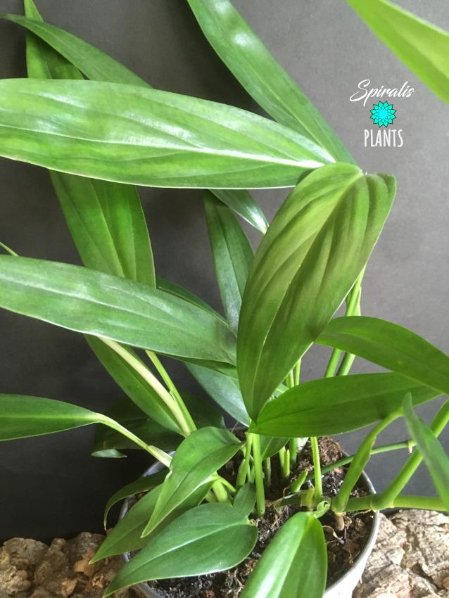 Epipremnum amplissimum climbing aroid house plant pothos