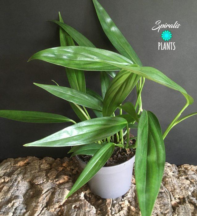 Epipremnum aplissimum tropical vine aroid house plant rare climber