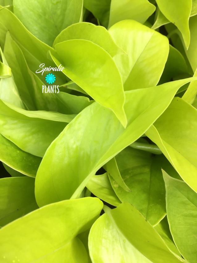 Epipremnum aureum Neon Pothos Devils Ivy
