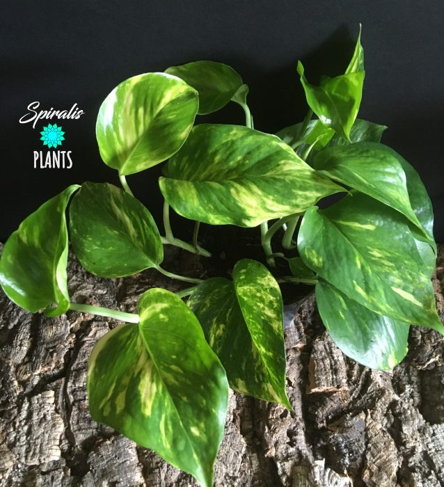Epipremnum aureum golden pothos devils ivy trailing house plant
