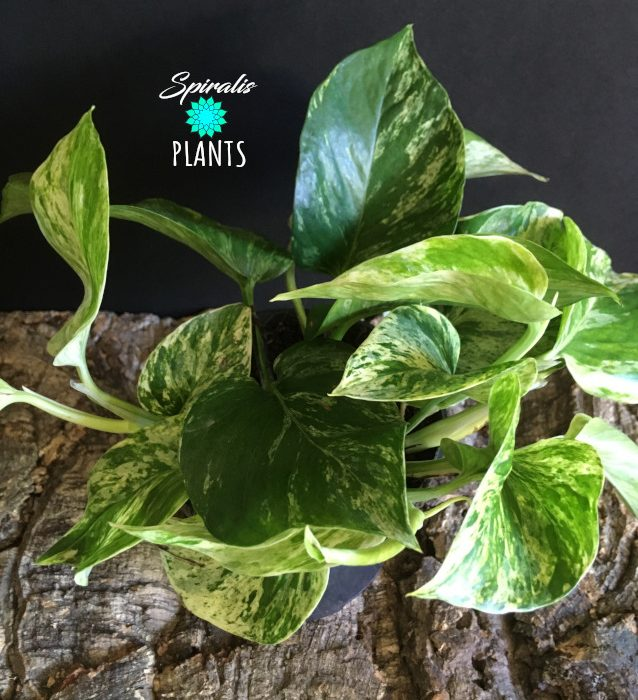 Epipremnum marble queen 12cm pot
