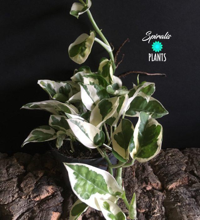 Epipremnum njoy trailing house plant