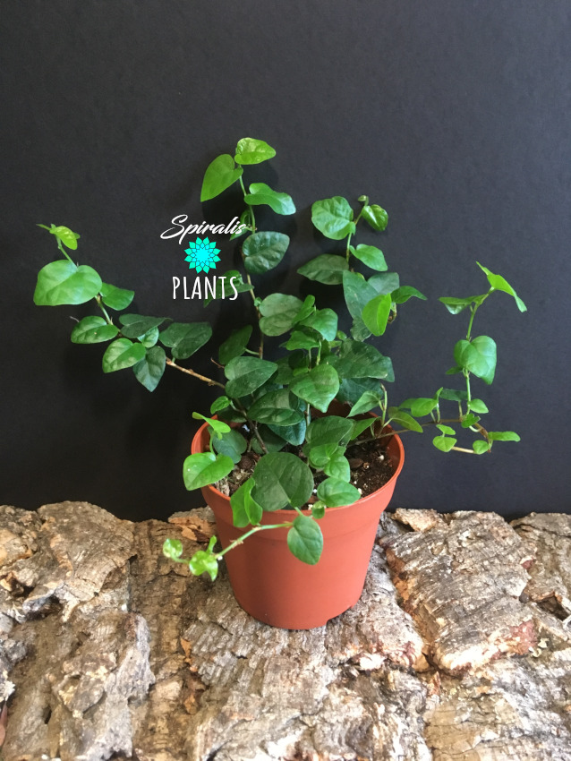 Ficus pumila creeping fig trailing house plant