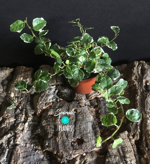 Ficus pumila variegated sonny trailing terrarium plant climber