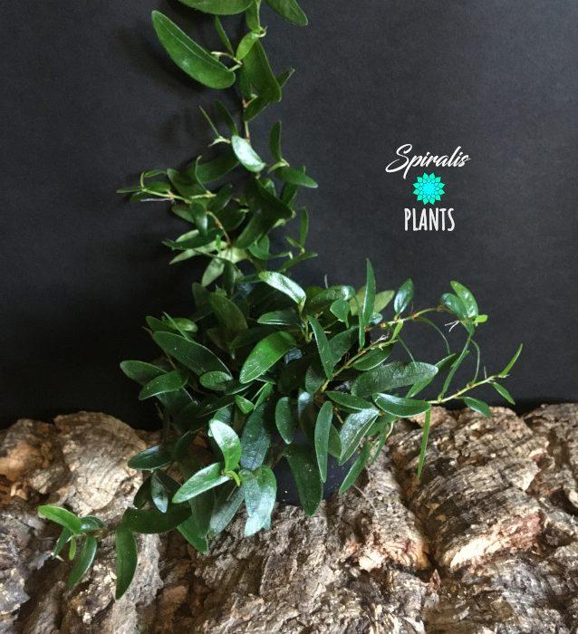 Ficus punctata climbing terrarium plants trailing house plants