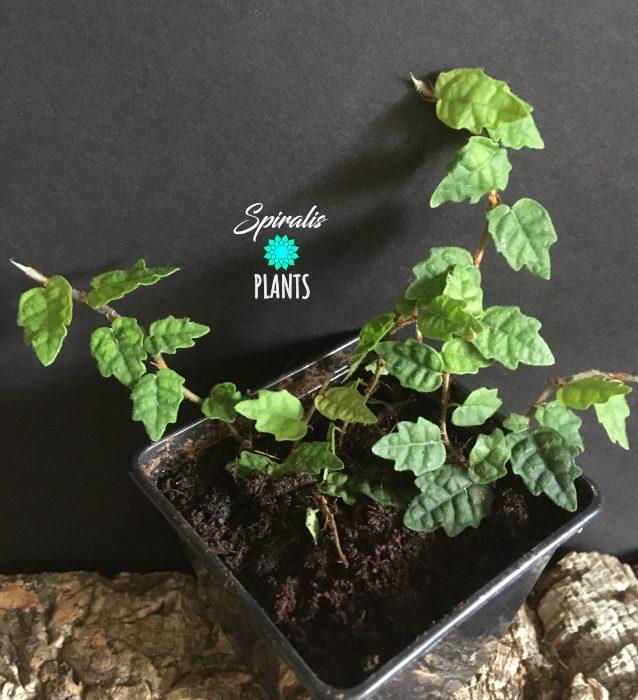 Ficus quercifolia oak leaf creeping fig rare terrarium plant