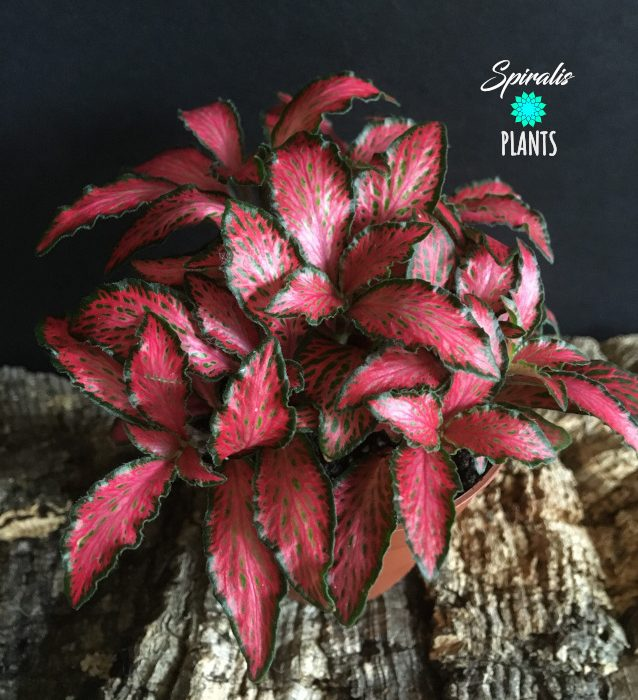 Fittonia forest flame red nerve plant