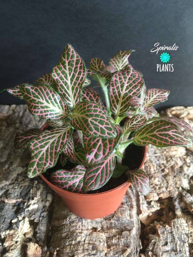 Fittonia nerve plant pink mosaic house tropical terrarium plant