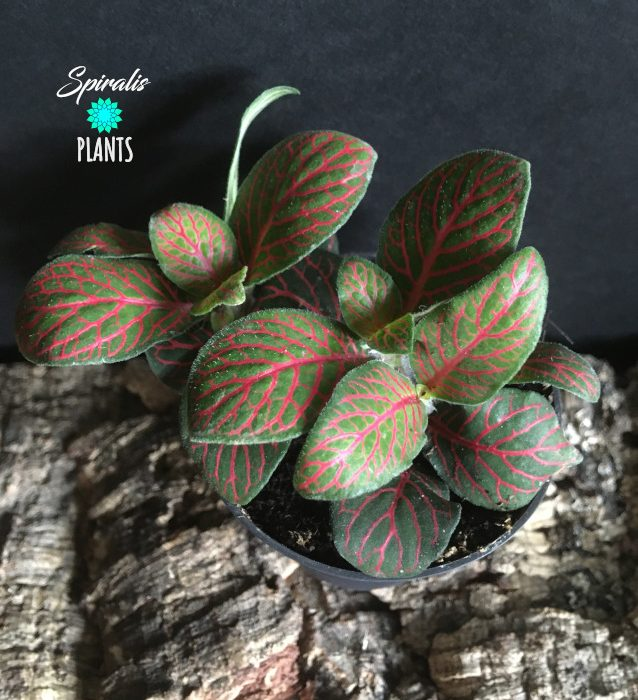 Fittonia red small baby terrarium plant