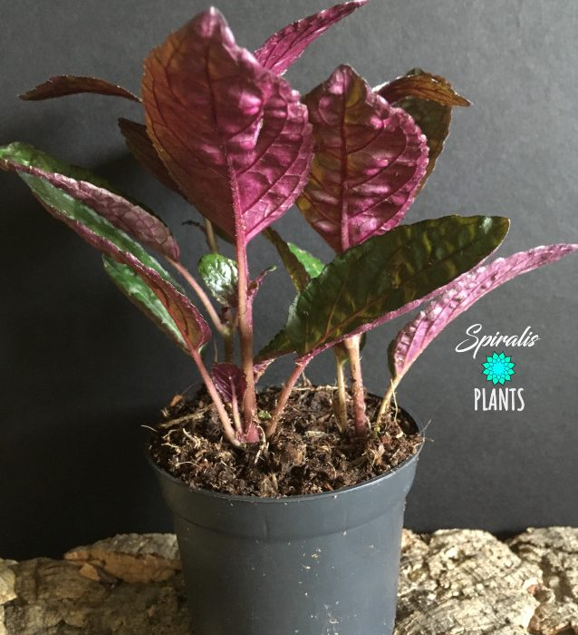 Hemigraphis alternata purple waffle plant purple leaves
