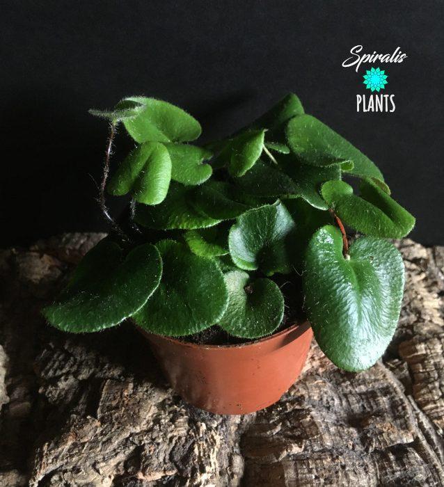 Hemionitis arifolia heart leaf fern terrarium plant