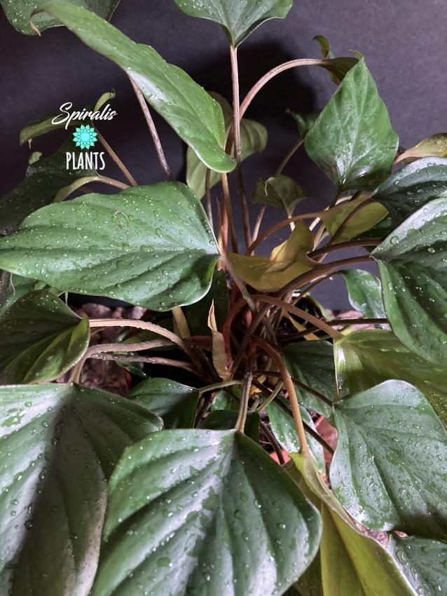Homalomena pendula philodendron arrowhead rare aroid house plant unusual
