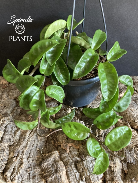 Hoya carnosa Krinkle hanging house plant trailing