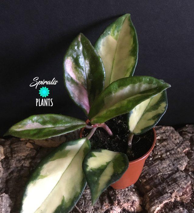 Hoya carnosa tricolour baby plant