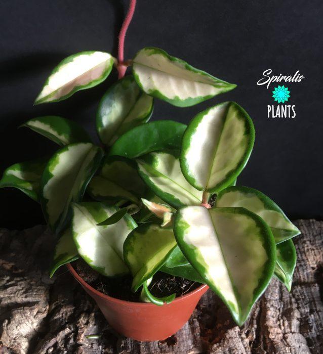Hoya carnosa tricolour trailing house plant variegated