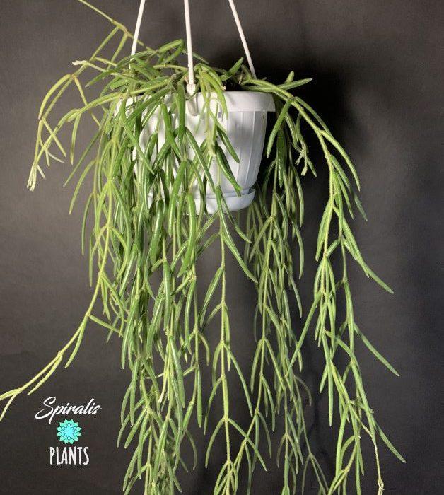 Hoya linearis large long hanging trailing house plant