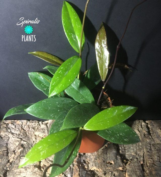 Hoya pubicalyx trailing climbing house plant