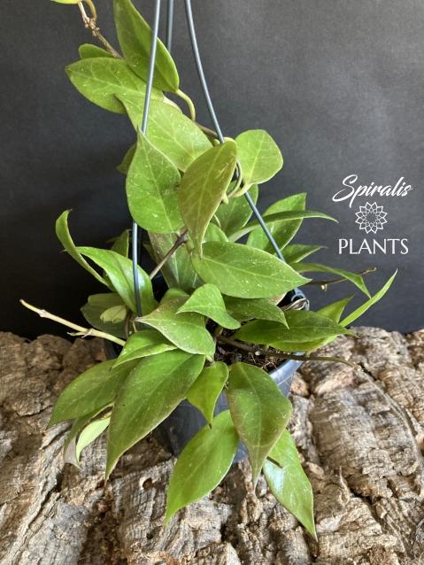 Hoya sunrise sunshine rare hanging house plant