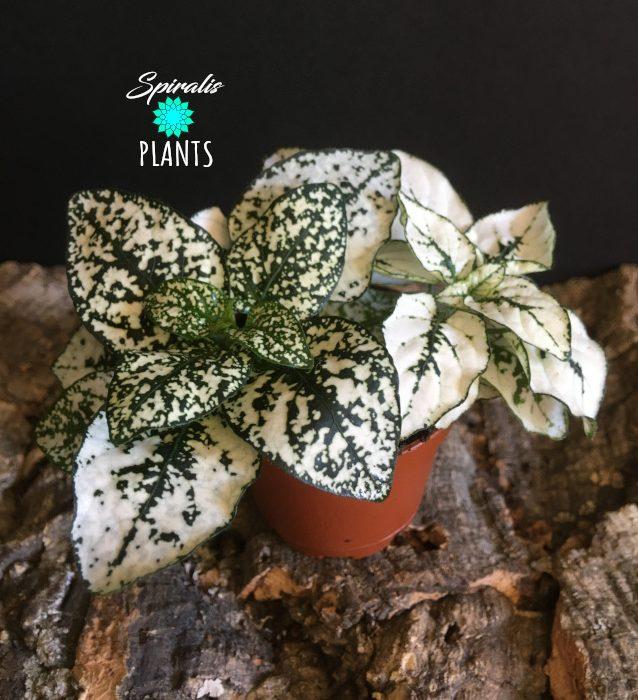 Hypoestes phyllostacha white baby plants